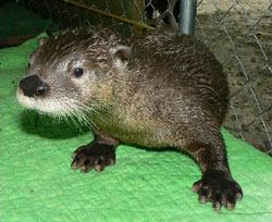Pete the Otter