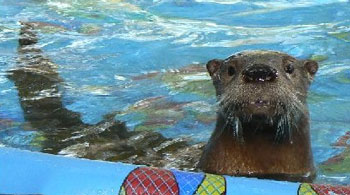Peter the Otter