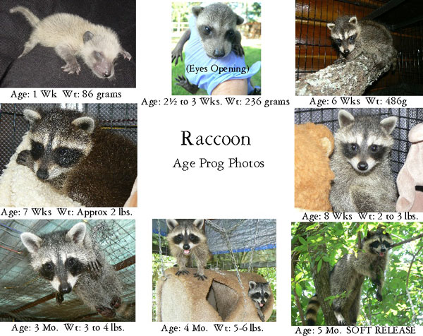 Care For Baby Raccoons The Arc Animal Rehabilitation